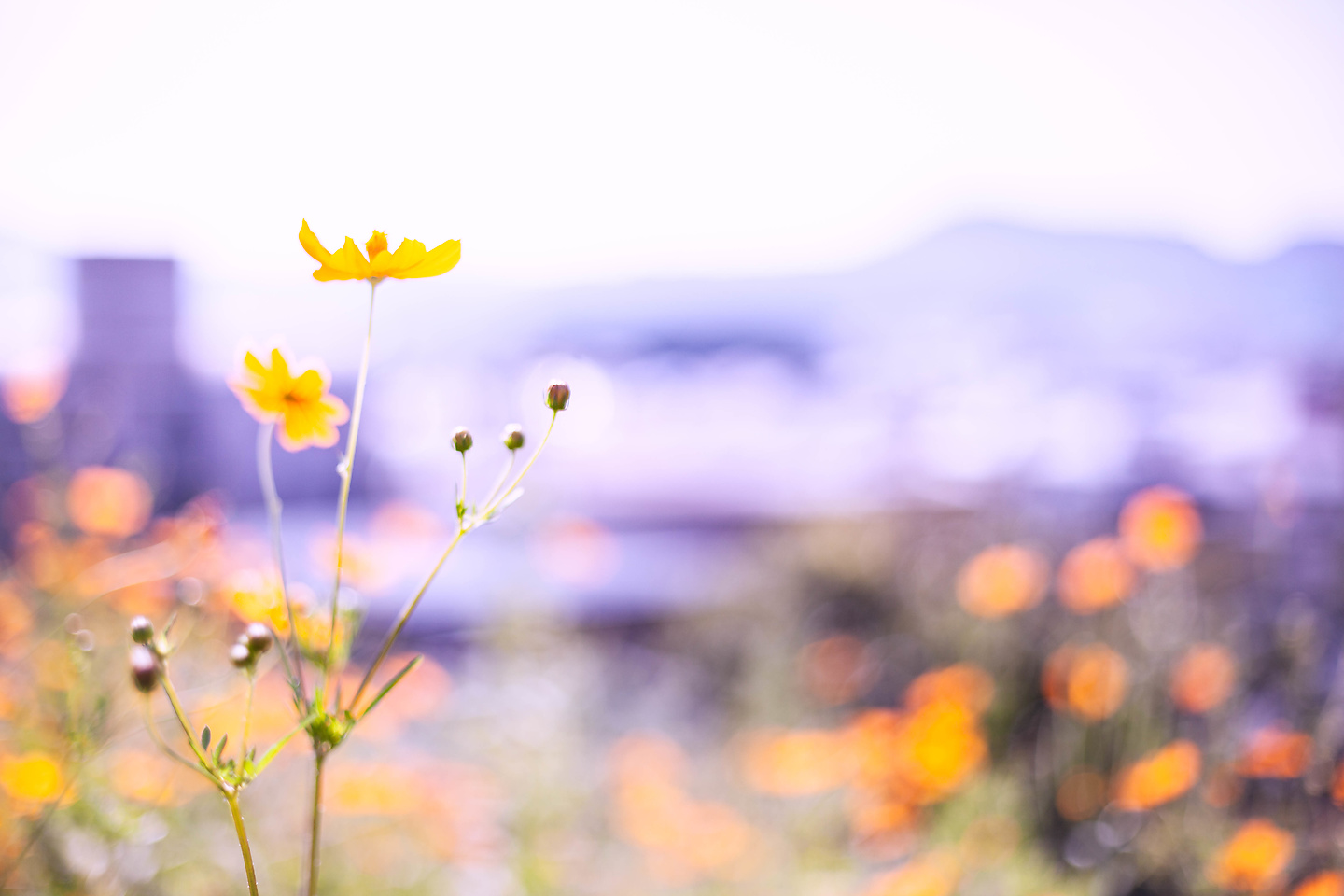 Cosmos and Sunflower