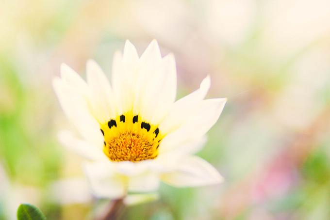 スパルキシスの花が咲いていました。花言葉は「神秘の人」