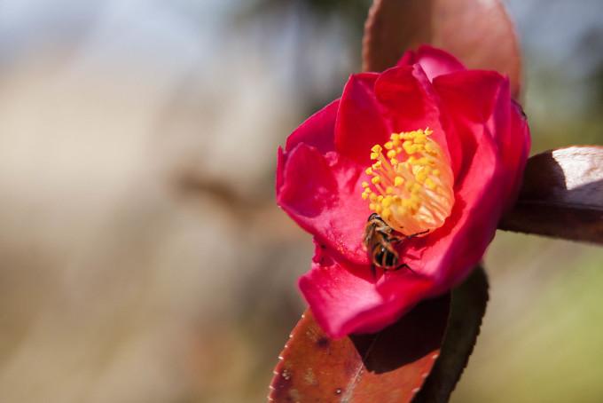椿を撮影していると偶然、ミツバチがやってきました。この花が一番きれいだったからね。花の「がく」の根本を熱心に調査