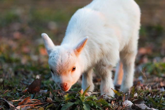 仔山羊の可愛さやばい。もだえました。