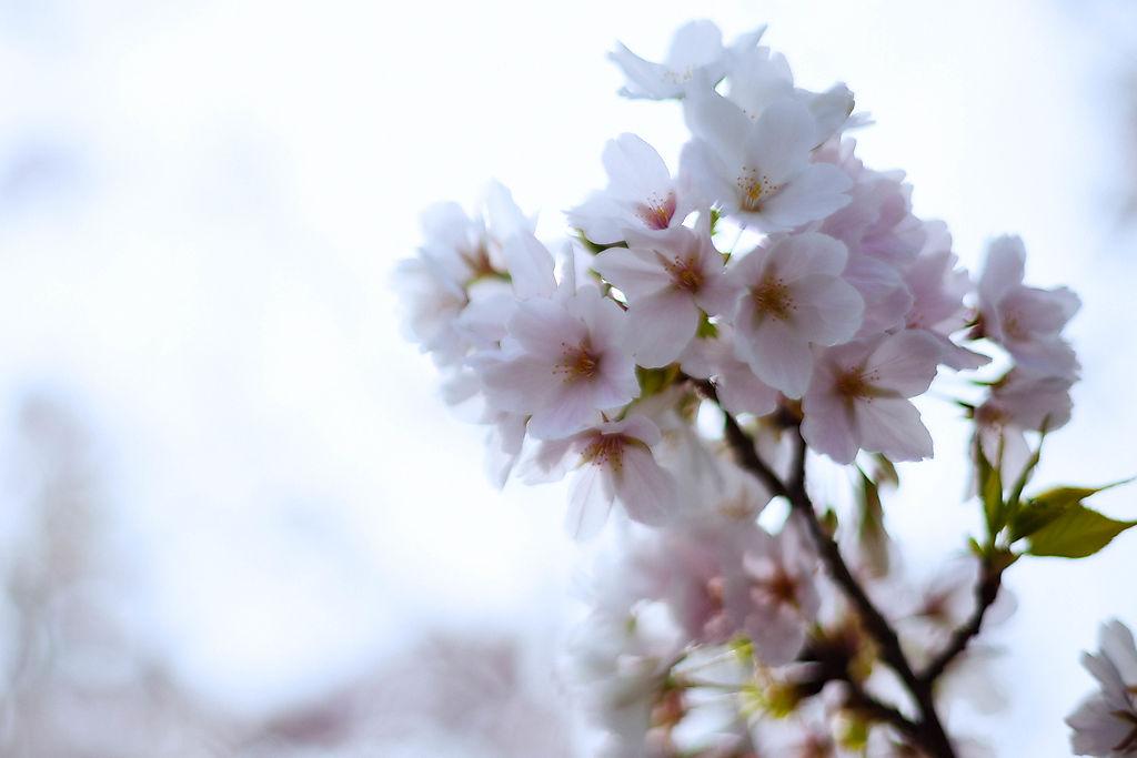桜は見事に満開を迎えましたね。