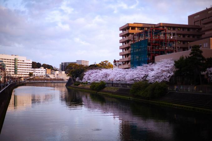 佐世保川の沿岸に咲く桜。