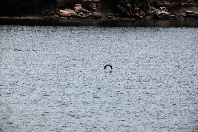 鳥がとても低く飛んでいました。おそらく、海中の魚を狙っているのでしょう。