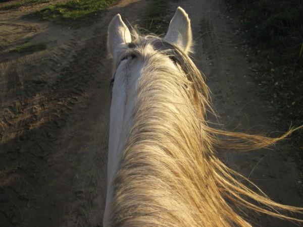 horse-dapple-mane-sun-wind-ride-attention-ears