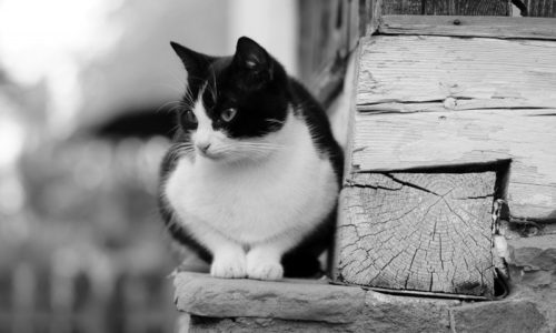 black-and-white-image-of-cat-sitting-by-cottage
