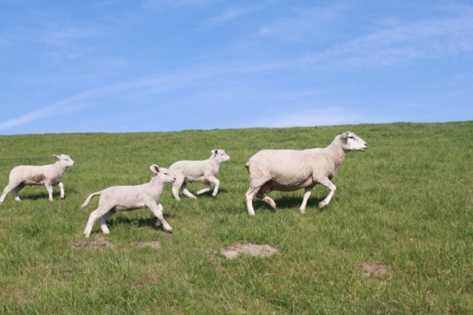 sheep-dyke-lamb-animal-dike-nordfriesland-meadow-1
