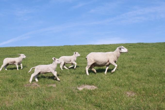sheep-dyke-lamb-animal-dike-nordfriesland-meadow-1